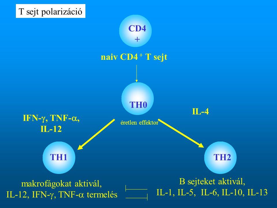 naiv CD4 + T sejt TH0 TH1 TH2 IFN- , TNF- , IL-12 IL-4 CD4 + éretlen effektor makrofágokat aktivál, IL-12, IFN- , TNF-  termelés B sejteket aktivál, IL-1, IL-5, IL-6, IL-10, IL-13 T sejt polarizáció