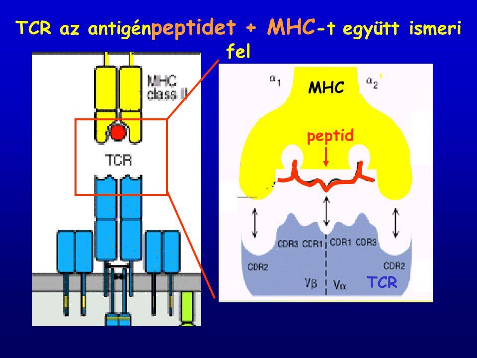 TCR az antigén peptidet + MHC -t együtt ismeri fel MHC TCR peptid