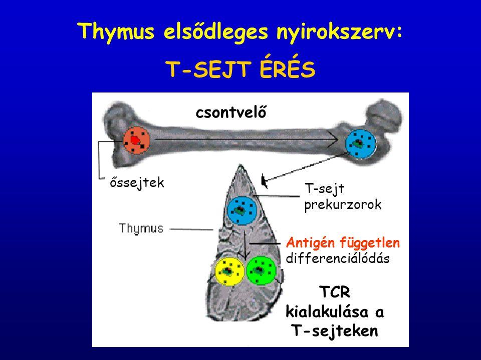 Thymus elsődleges nyirokszerv: T-SEJT ÉRÉS csontvelő őssejtek T-sejt prekurzorok Antigén független differenciálódás TCR kialakulása a T-sejteken