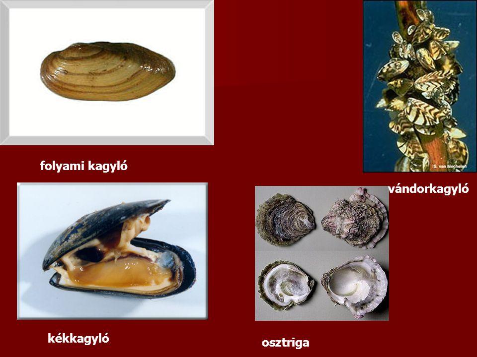 folyami kagyló kékkagyló osztriga vándorkagyló