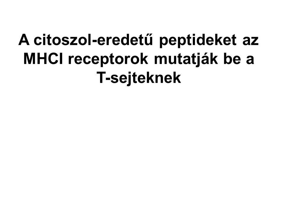 A citoszol-eredetű peptideket az MHCI receptorok mutatják be a T-sejteknek