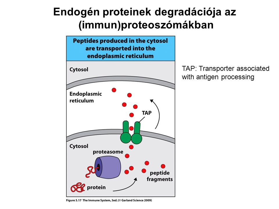 Endogén proteinek degradációja az (immun)proteoszómákban TAP: Transporter associated with antigen processing