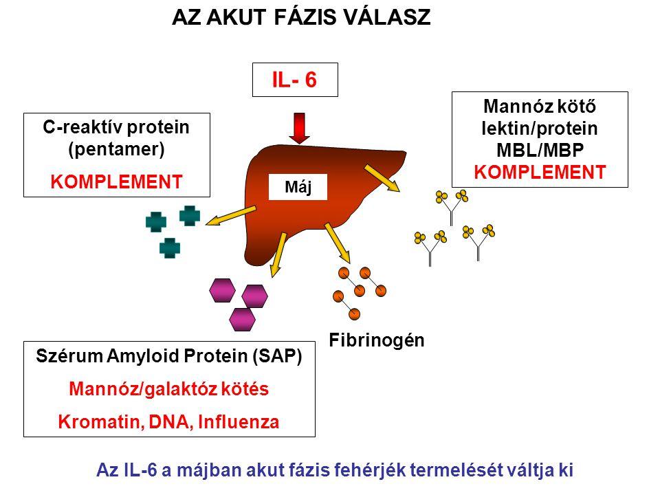Máj C-reaktív protein (pentamer) KOMPLEMENT Szérum Amyloid Protein (SAP) Mannóz/galaktóz kötés Kromatin, DNA, Influenza Fibrinogén Mannóz kötő lektin/protein MBL/MBP KOMPLEMENT IL- 6 AZ AKUT FÁZIS VÁLASZ Az IL-6 a májban akut fázis fehérjék termelését váltja ki