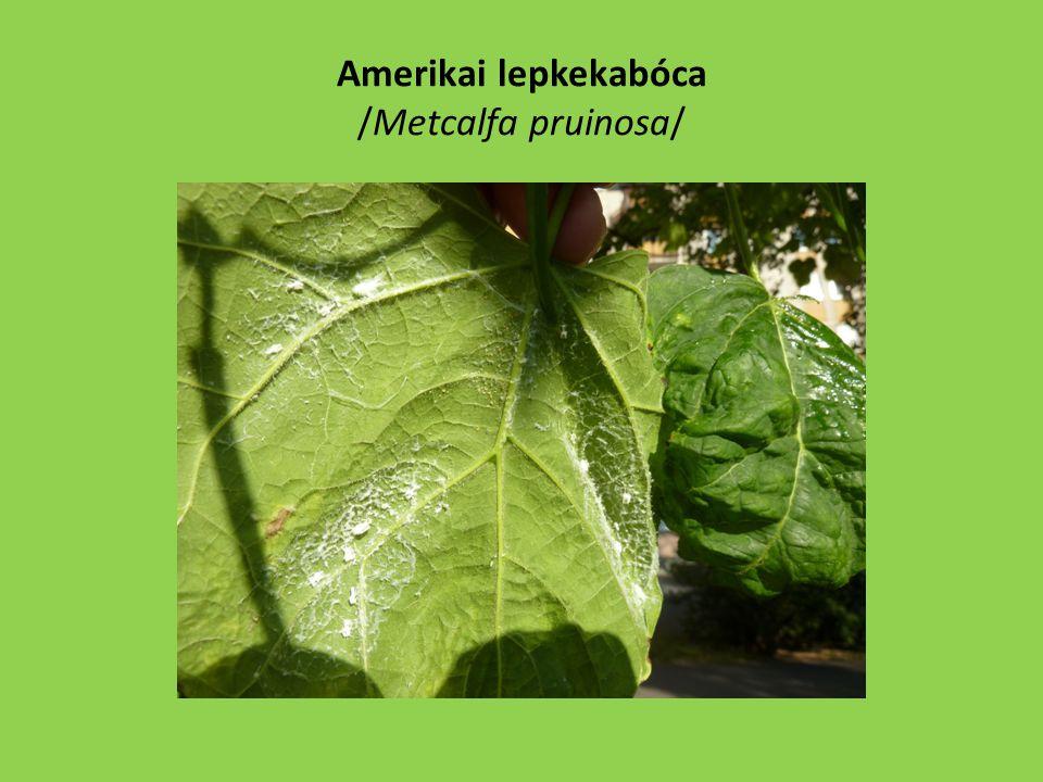 A védekezés lehetőségei: – Sok tápnövényű, folyamatosan beköltöző faj – Mospilanok, Actara, Teppeki, Karate, stb.