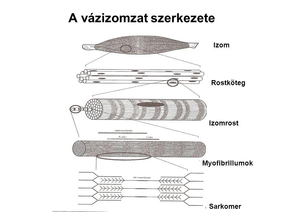 A vázizomzat szerkezete Izom Rostköteg Izomrost Myofibrillumok Sarkomer