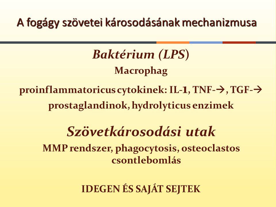 Baktérium (LPS) Macrophag proinflammatoricus cytokinek: IL- 1, TNF- , TGF-  prostaglandinok, hydrolyticus enzimek Szövetkárosodási utak MMP rendszer