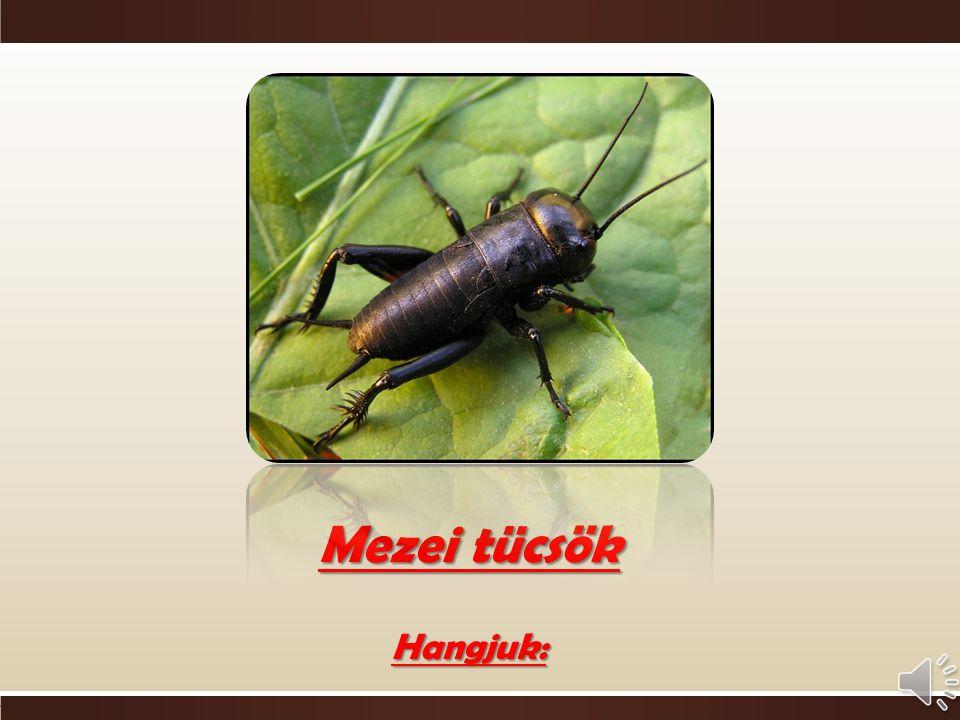o Ízeltlábúak  rovarok csoportja o Zömök testalkat o Csápja testhossznyi o Potrohra simuló hártyás szárny o Fényes, fekete test o Mindenevő