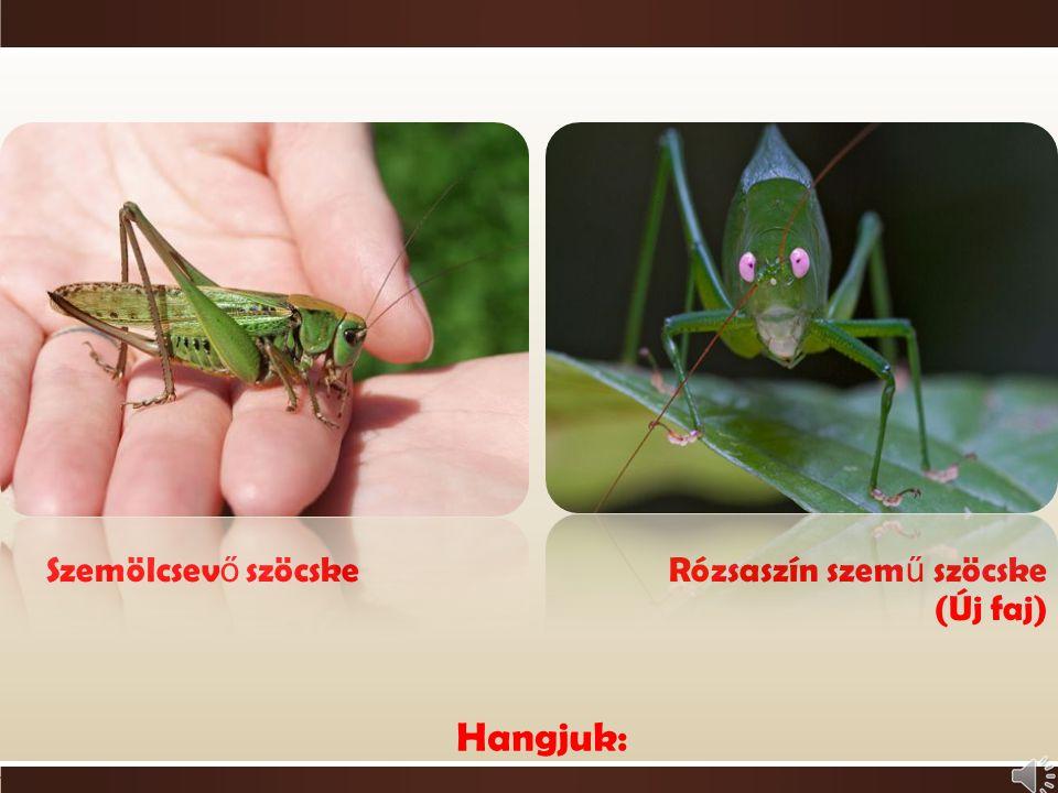 o Ízeltlábúak  rovarok csoportja o Hasonlítanak a sáskákhoz o Fél testhossznál nagyobb a csápjuk o Jól fejlett tojócső o Rovarokkal táplálkozik o Kar