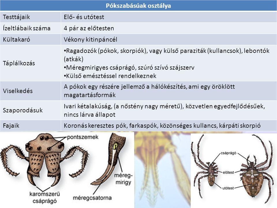 Pókszabásúak osztálya TesttájaikElő- és utótest Ízeltlábaik száma4 pár az előtesten KültakaróVékony kitinpáncél Táplálkozás Ragadozók (pókok, skorpiók