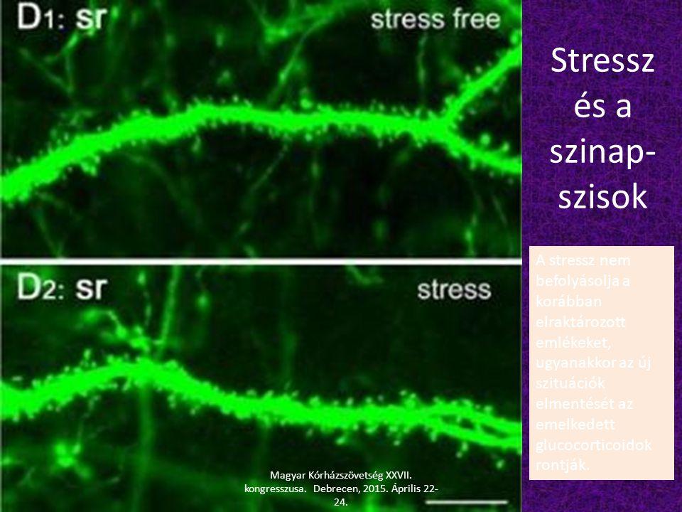 Stressz és a szinap- szisok A stressz nem befolyásolja a korábban elraktározott emlékeket, ugyanakkor az új szituációk elmentését az emelkedett glucoc