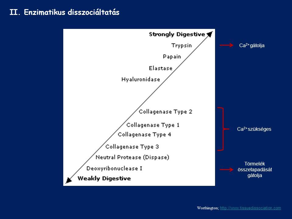 II. Enzimatikus disszociáltatás Worthington; http://www.tissuedissociation.com http://www.tissuedissociation.com Ca 2+ gátolja Ca 2+ szükséges Törmelé