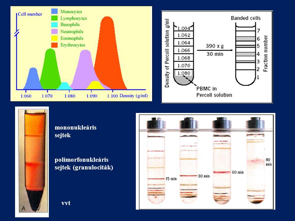 mononukleáris sejtek polimorfonukleáris sejtek (granulociták) vvt