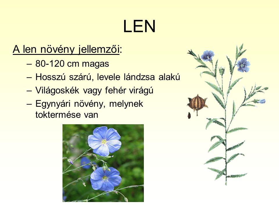 LEN A len növény jellemzői: –80-120 cm magas –Hosszú szárú, levele lándzsa alakú –Világoskék vagy fehér virágú –Egynyári növény, melynek toktermése va