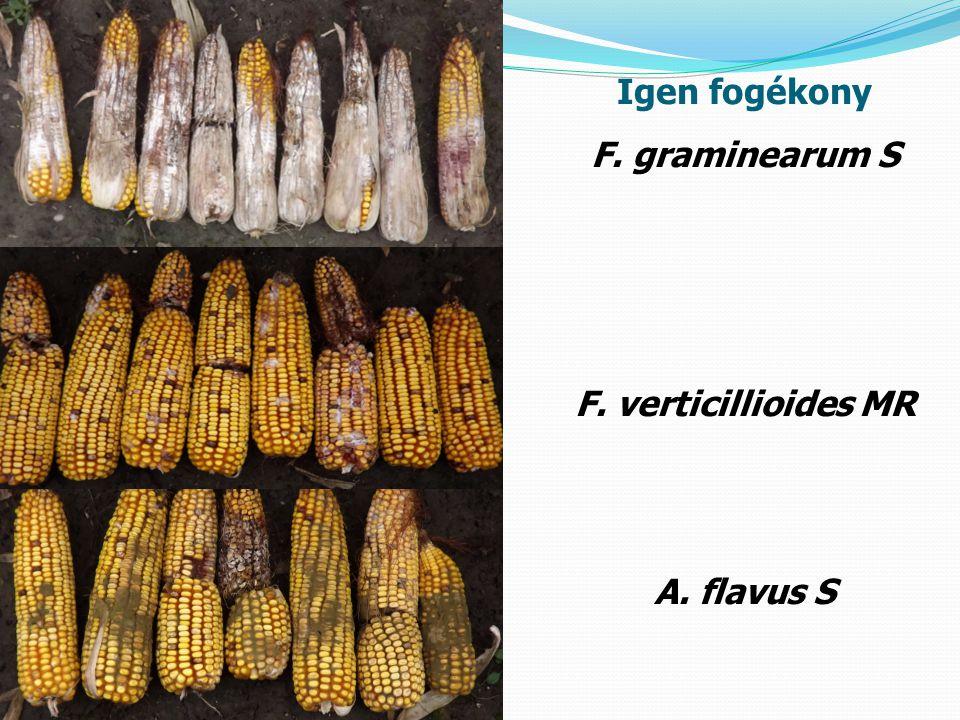 Igen fogékony F. graminearum S F. verticillioides MR A. flavus S