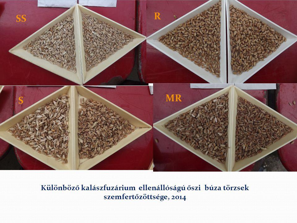 SS S R MR Különböző kalászfuzárium ellenállóságú őszi búza törzsek szemfertőzöttsége, 2014