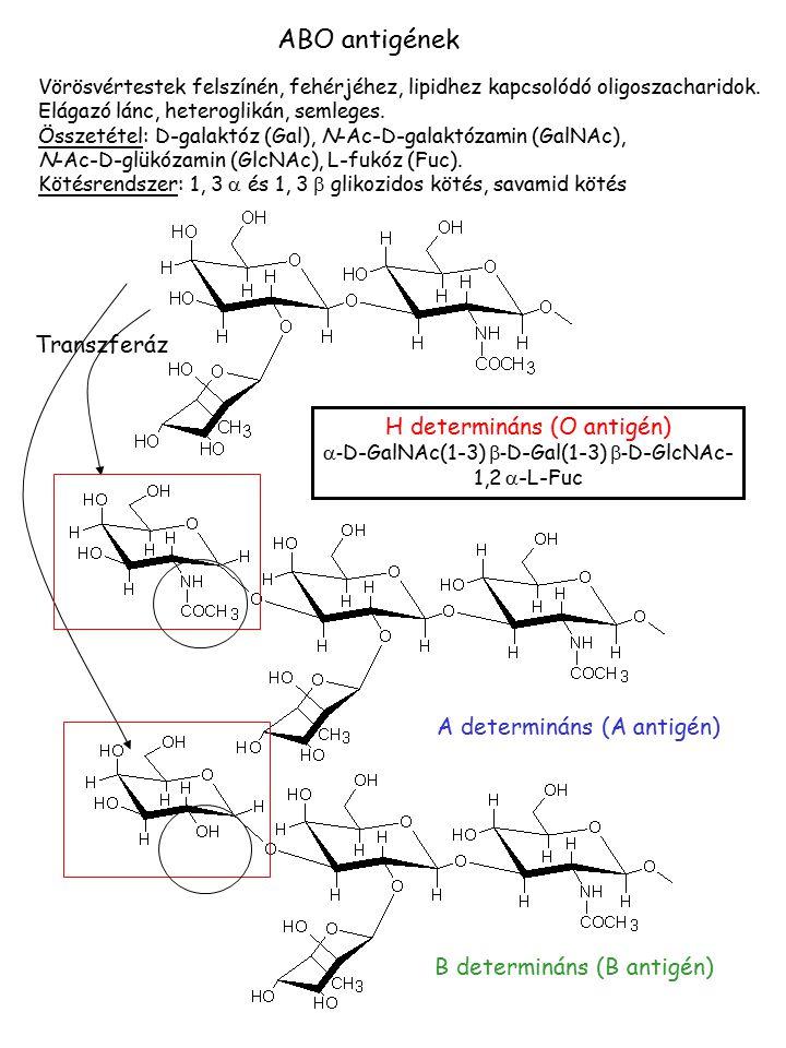 ABO antigének Vörösvértestek felszínén, fehérjéhez, lipidhez kapcsolódó oligoszacharidok. Elágazó lánc, heteroglikán, semleges. Összetétel: D-galaktóz