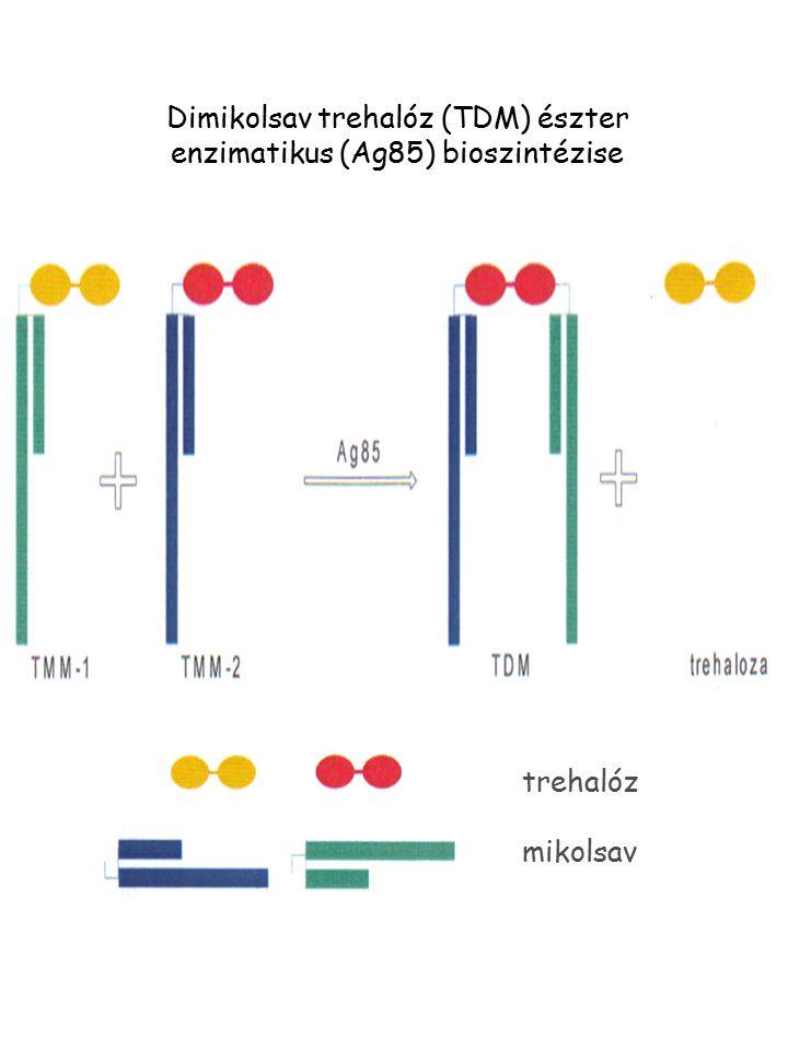 Dimikolsav trehalóz (TDM) észter enzimatikus (Ag85) bioszintézise trehalóz mikolsav