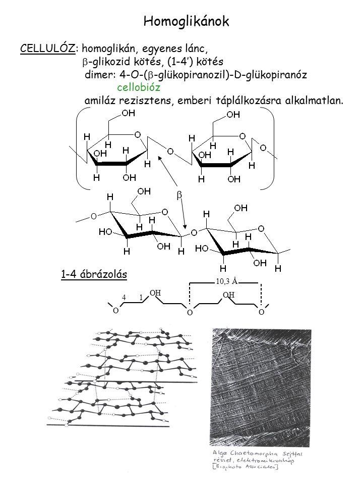CELLULÓZ: homoglikán, egyenes lánc,  -glikozid kötés, (1-4') kötés dimer: 4-O-(  -glükopiranozil)-D-glükopiranóz cellobióz amiláz rezisztens, emberi