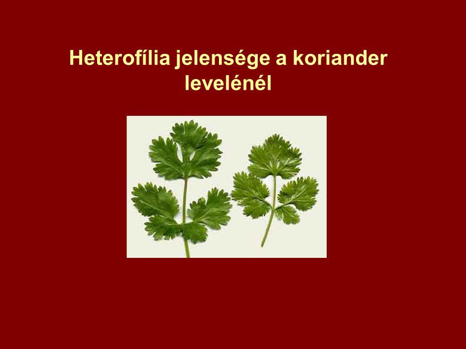 Heterofília jelensége a koriander levelénél