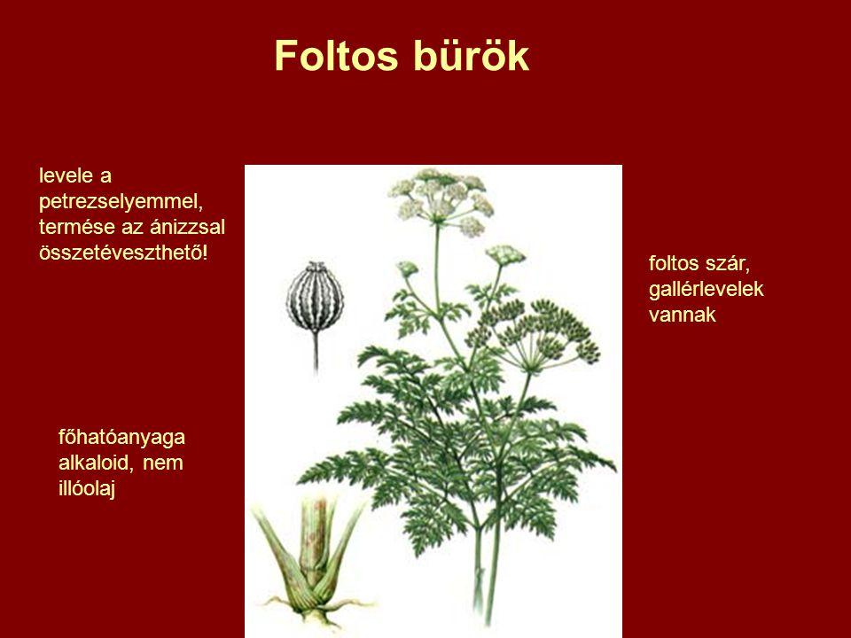 Foltos bürök foltos szár, gallérlevelek vannak levele a petrezselyemmel, termése az ánizzsal összetéveszthető.