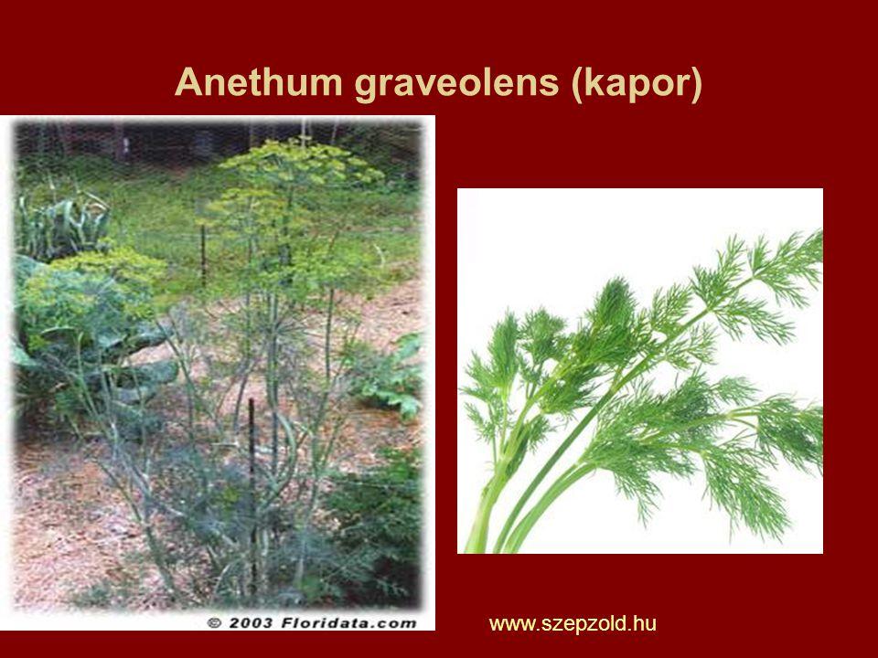 Anethum graveolens (kapor) www.szepzold.hu