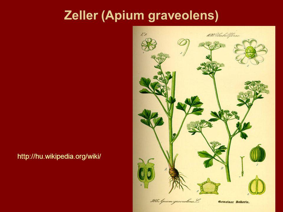 Zeller (Apium graveolens) http://hu.wikipedia.org/wiki/