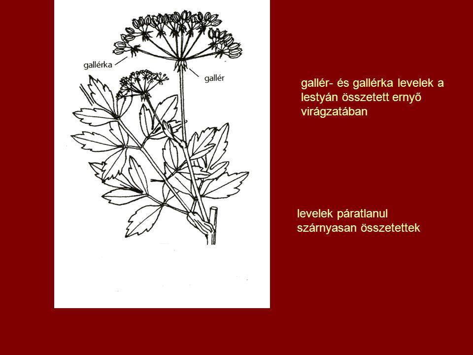 gallér- és gallérka levelek a lestyán összetett ernyő virágzatában levelek páratlanul szárnyasan összetettek