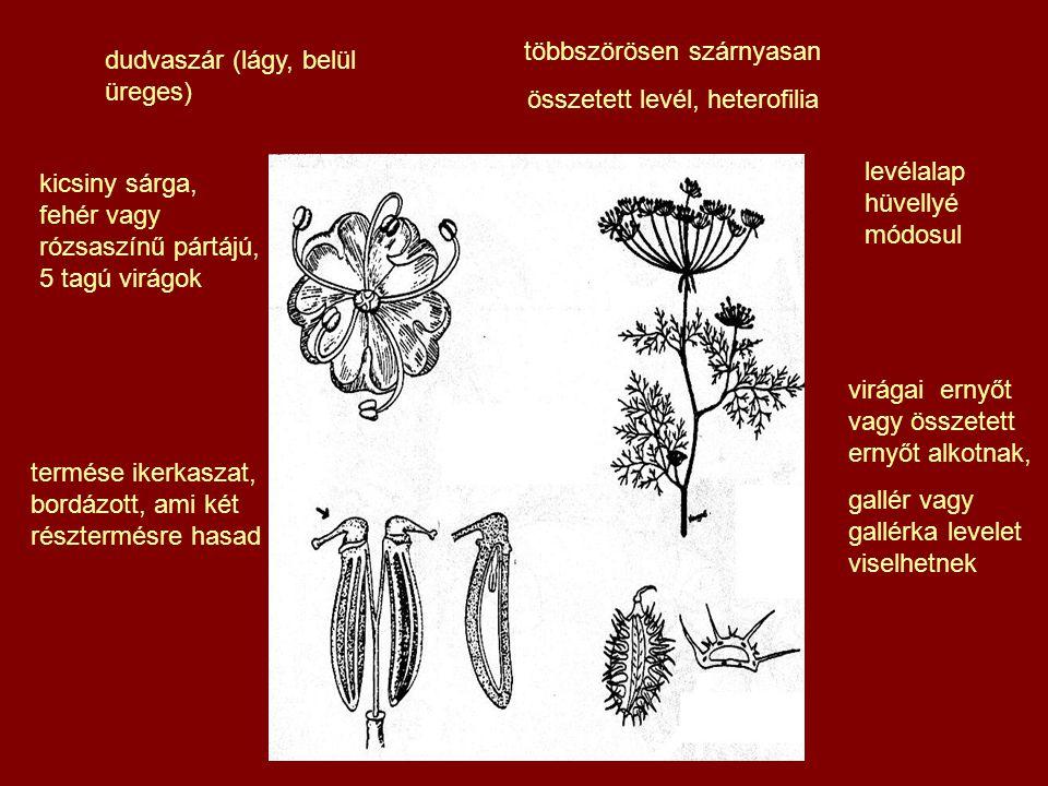 levélalap hüvellyé módosul virágai ernyőt vagy összetett ernyőt alkotnak, gallér vagy gallérka levelet viselhetnek termése ikerkaszat, bordázott, ami két résztermésre hasad többszörösen szárnyasan összetett levél, heterofilia kicsiny sárga, fehér vagy rózsaszínű pártájú, 5 tagú virágok dudvaszár (lágy, belül üreges)
