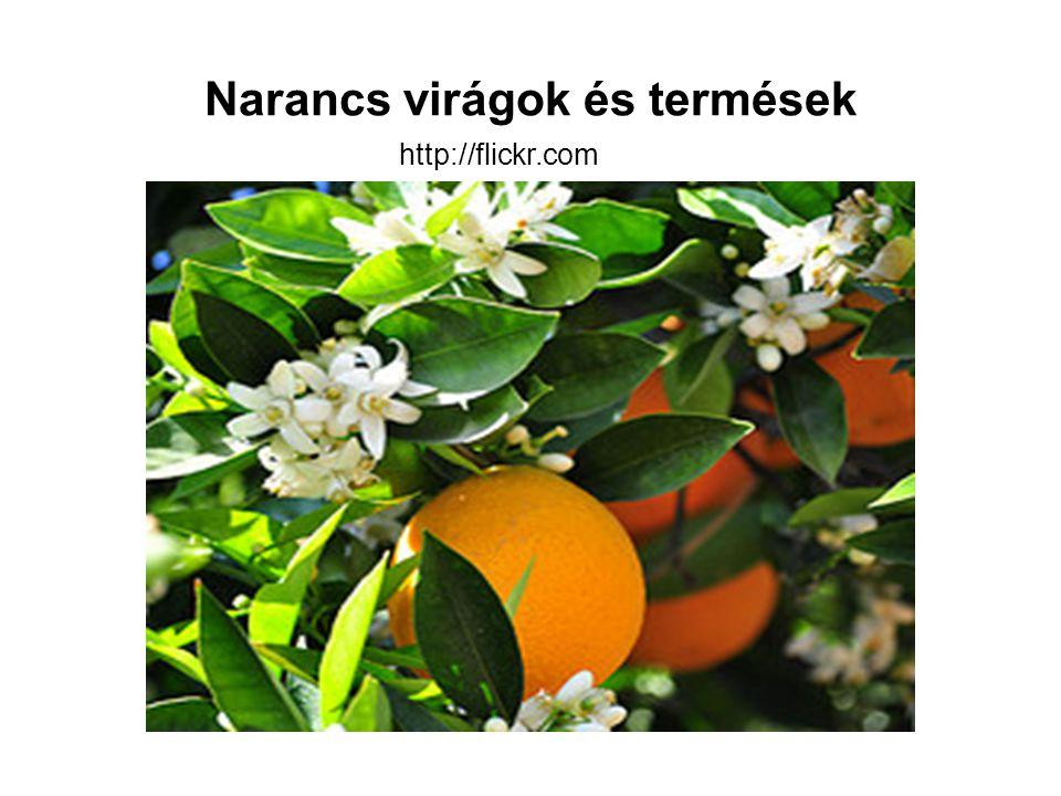 Narancs virágok és termések http://flickr.com