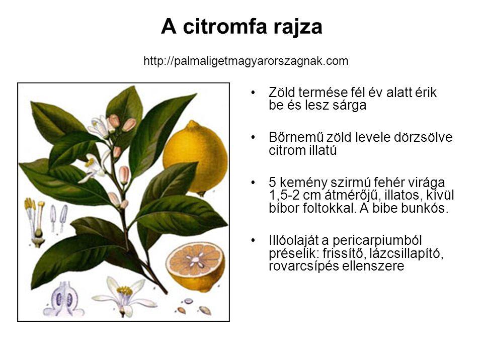 A citromfa rajza http://palmaligetmagyarorszagnak.com Zöld termése fél év alatt érik be és lesz sárga Bőrnemű zöld levele dörzsölve citrom illatú 5 ke