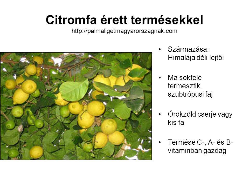 Citromfa érett termésekkel http://palmaligetmagyarorszagnak.com Származása: Himalája déli lejtői Ma sokfelé termesztik, szubtrópusi faj Örökzöld cserj