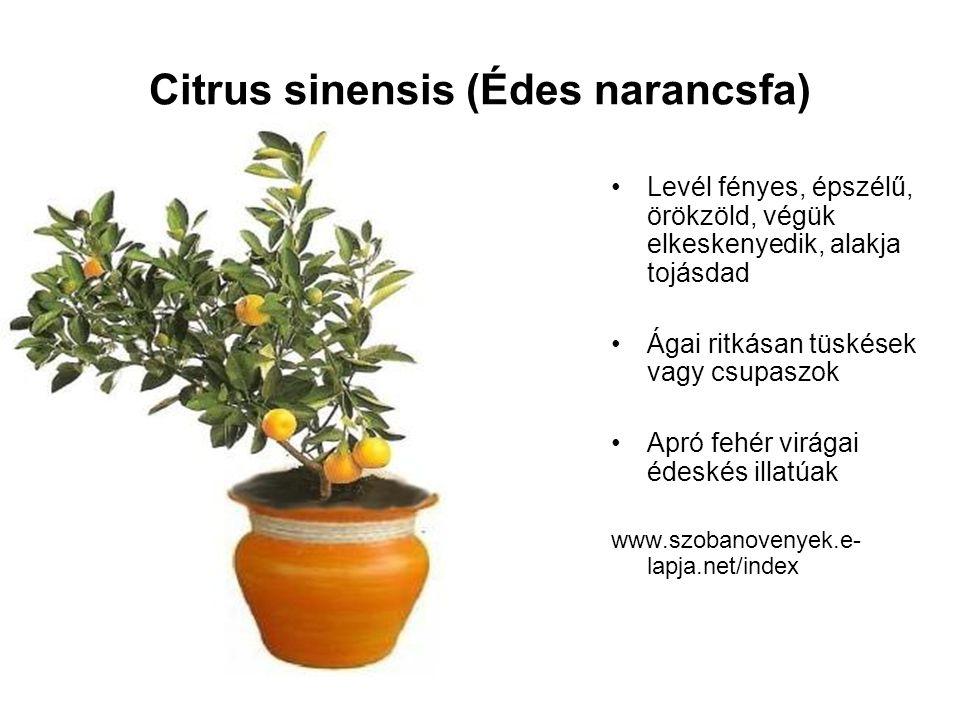 Citrus sinensis (Édes narancsfa) Levél fényes, épszélű, örökzöld, végük elkeskenyedik, alakja tojásdad Ágai ritkásan tüskések vagy csupaszok Apró fehé