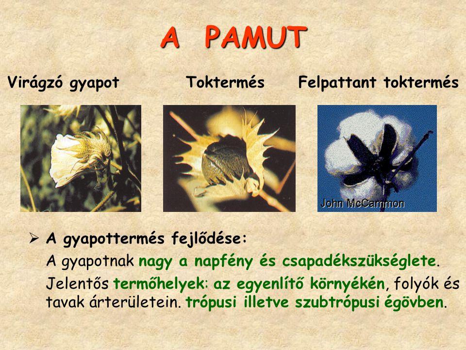 A PAMUT A PAMUT Virágzó gyapot Toktermés Felpattant toktermés  A gyapottermés fejlődése: A gyapotnak nagy a napfény és csapadékszükséglete. Jelentős