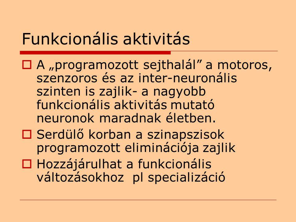 """Funkcionális aktivitás  A """"programozott sejthalál a motoros, szenzoros és az inter-neuronális szinten is zajlik- a nagyobb funkcionális aktivitás mutató neuronok maradnak életben."""