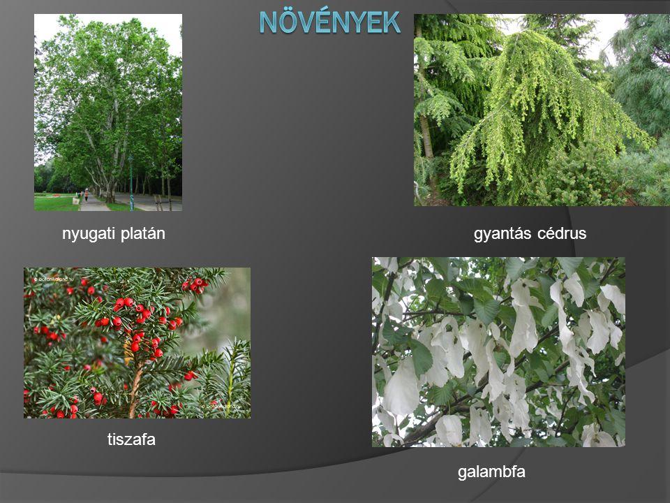 nyugati platán tiszafa gyantás cédrus galambfa