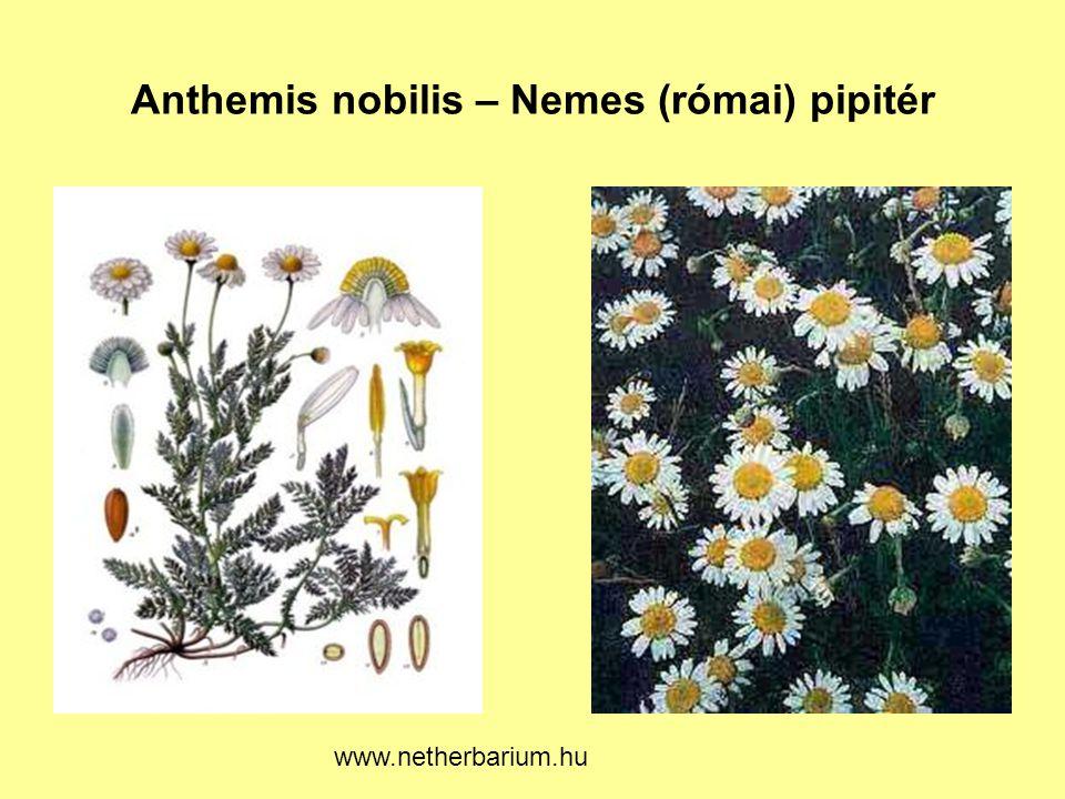 Anthemis nobilis – Nemes (római) pipitér www.netherbarium.hu