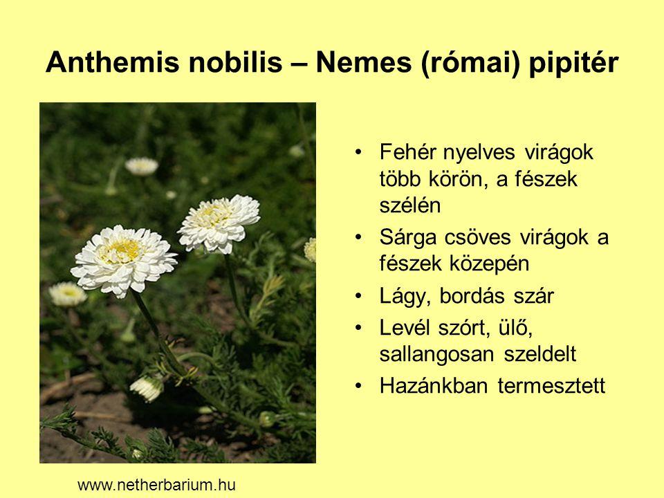 Anthemis nobilis – Nemes (római) pipitér Fehér nyelves virágok több körön, a fészek szélén Sárga csöves virágok a fészek közepén Lágy, bordás szár Lev