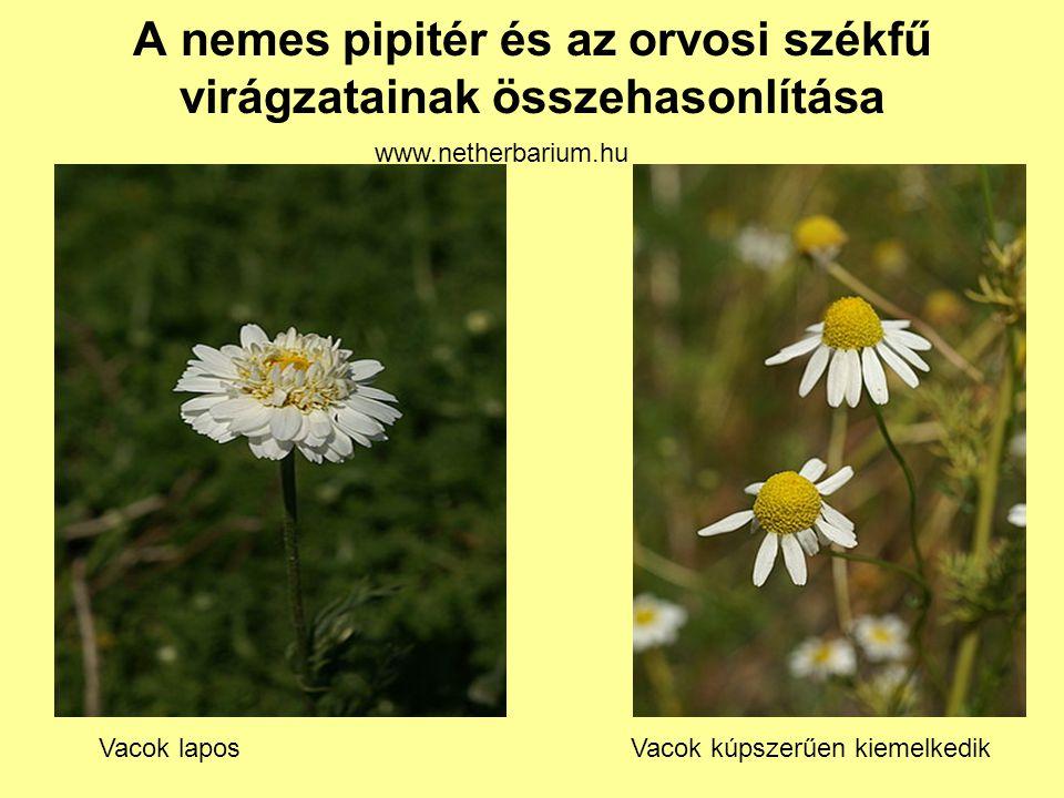 A nemes pipitér és az orvosi székfű virágzatainak összehasonlítása Vacok laposVacok kúpszerűen kiemelkedik www.netherbarium.hu