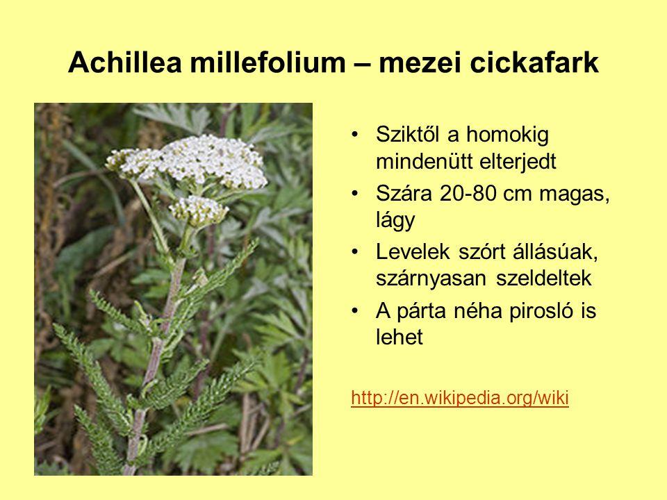 Achillea millefolium – mezei cickafark Sziktől a homokig mindenütt elterjedt Szára 20-80 cm magas, lágy Levelek szórt állásúak, szárnyasan szeldeltek