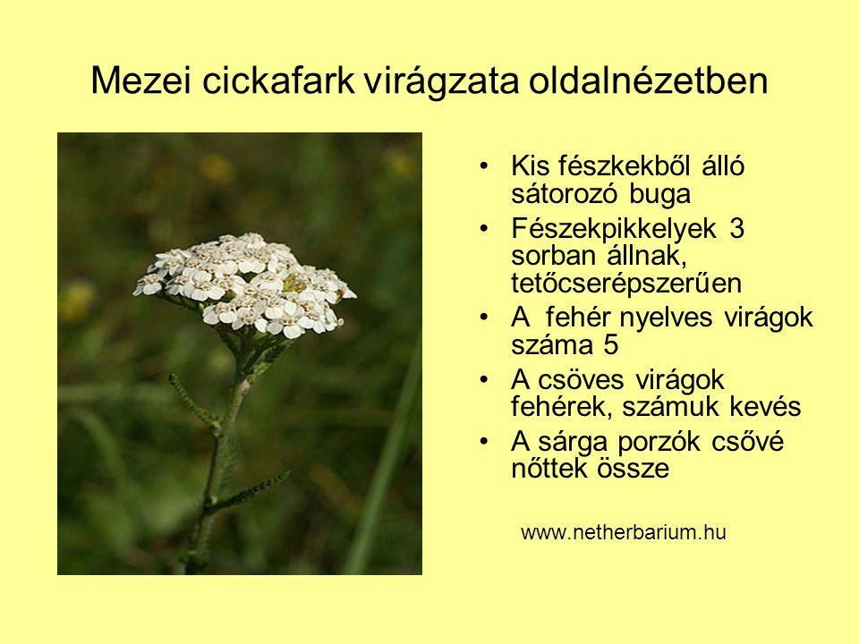 Mezei cickafark virágzata oldalnézetben Kis fészkekből álló sátorozó buga Fészekpikkelyek 3 sorban állnak, tetőcserépszerűen A fehér nyelves virágok s