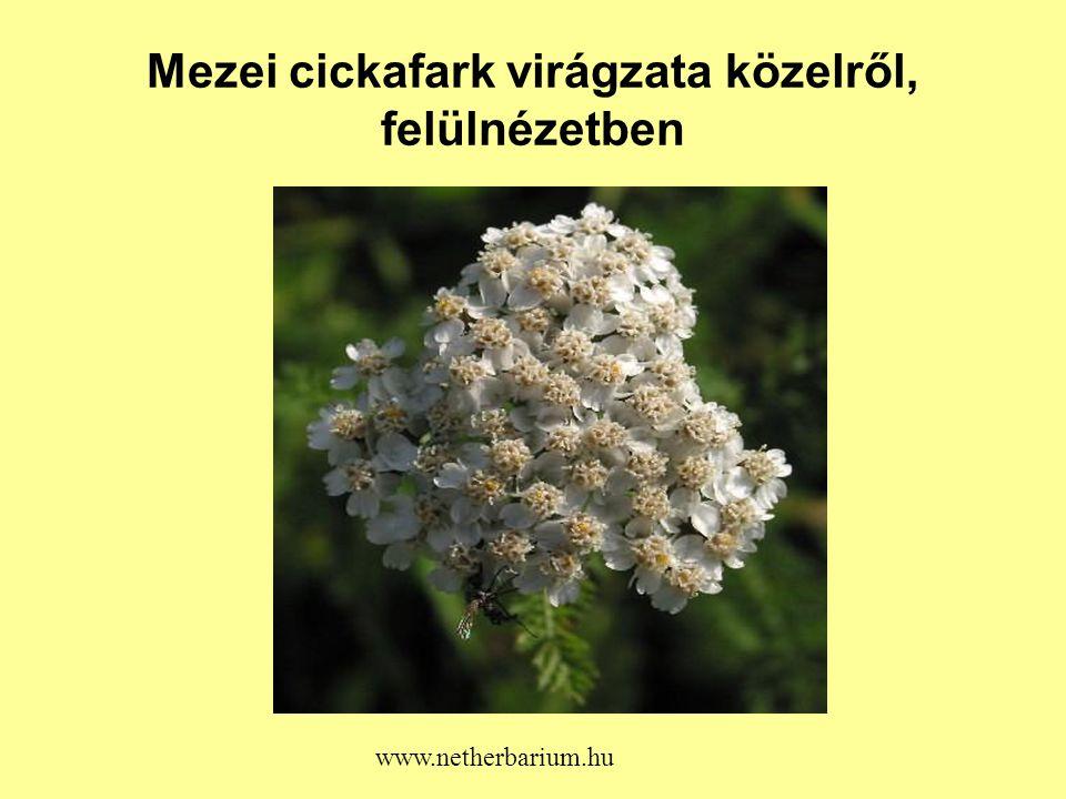 Mezei cickafark virágzata közelről, felülnézetben www.netherbarium.hu