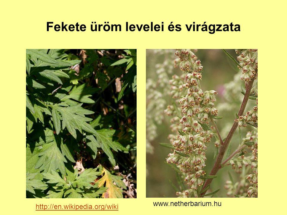 Fekete üröm levelei és virágzata http://en.wikipedia.org/wiki www.netherbarium.hu
