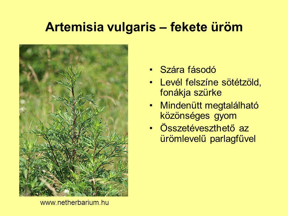 Artemisia vulgaris – fekete üröm Szára fásodó Levél felszíne sötétzöld, fonákja szürke Mindenütt megtalálható közönséges gyom Összetéveszthető az üröm