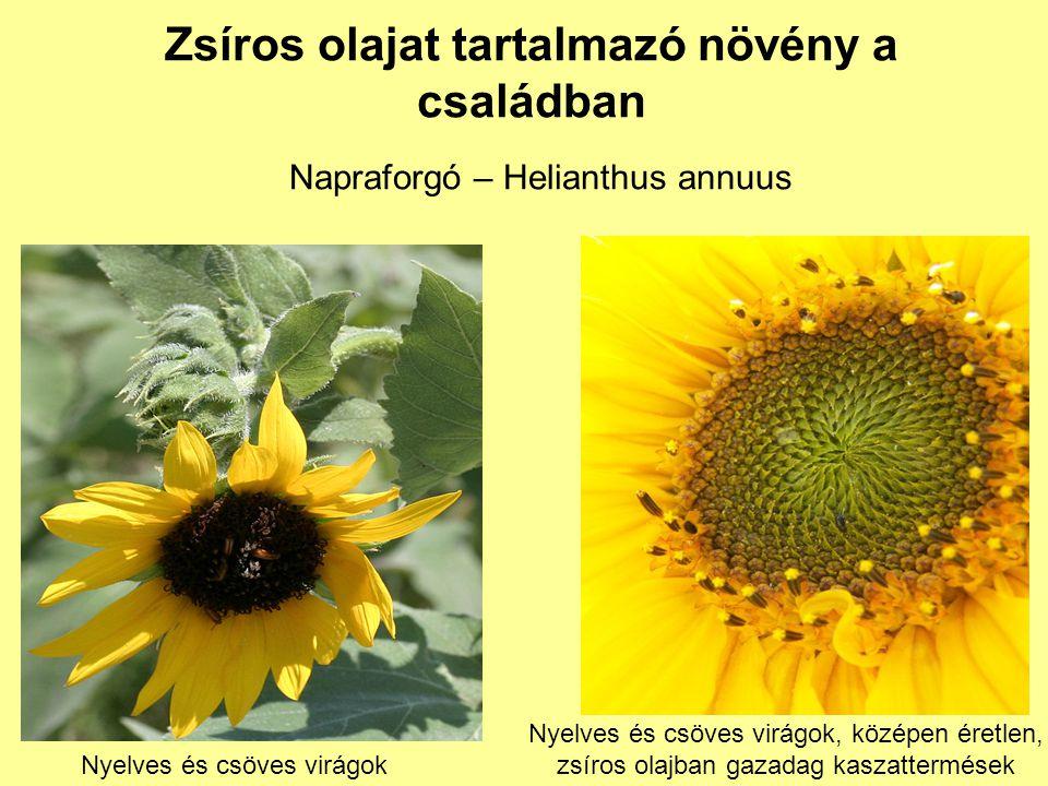Zsíros olajat tartalmazó növény a családban Napraforgó – Helianthus annuus Nyelves és csöves virágok Nyelves és csöves virágok, középen éretlen, zsíro
