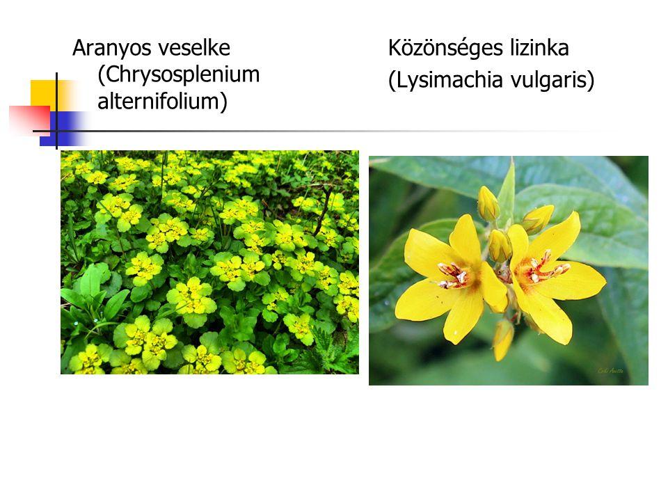Aranyos veselke (Chrysosplenium alternifolium) Közönséges lizinka (Lysimachia vulgaris)