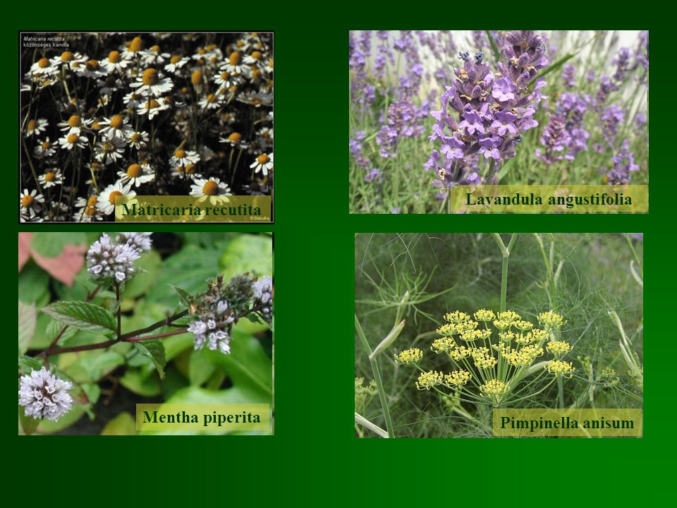 Matricaria recutita Lavandula angustifolia Mentha piperita Pimpinella anisum