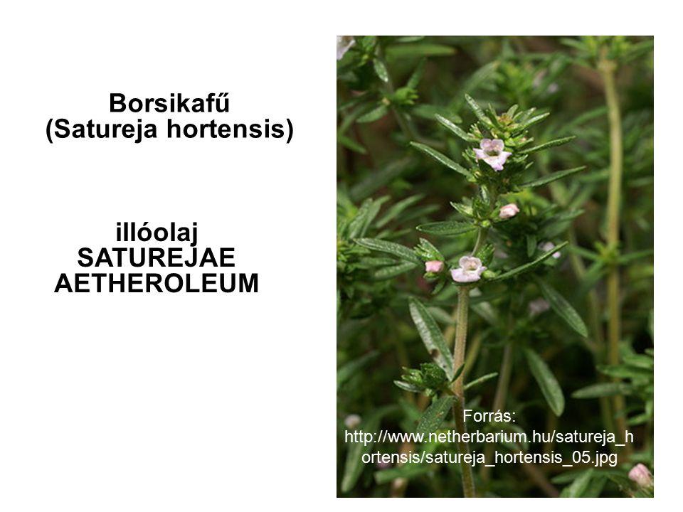 illóolaj SATUREJAE AETHEROLEUM Borsikafű (Satureja hortensis) Forrás: http://www.netherbarium.hu/satureja_h ortensis/satureja_hortensis_05.jpg