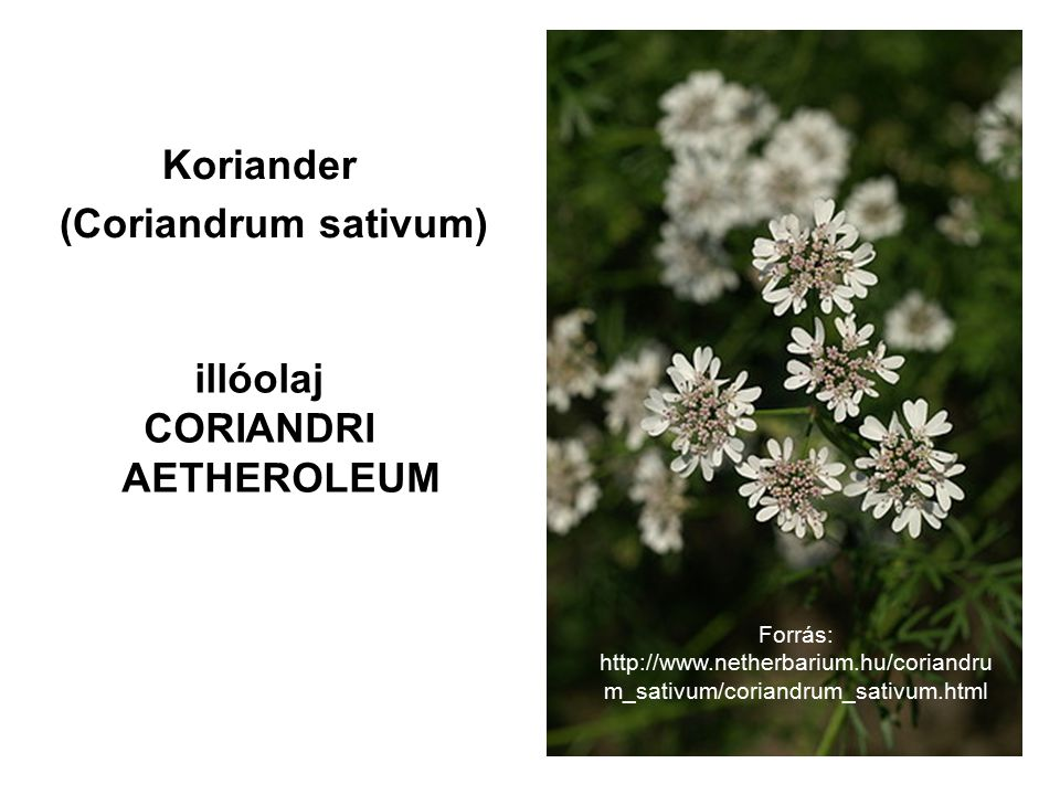 Koriander (Coriandrum sativum) illóolaj CORIANDRI AETHEROLEUM Forrás: http://www.netherbarium.hu/coriandru m_sativum/coriandrum_sativum.html