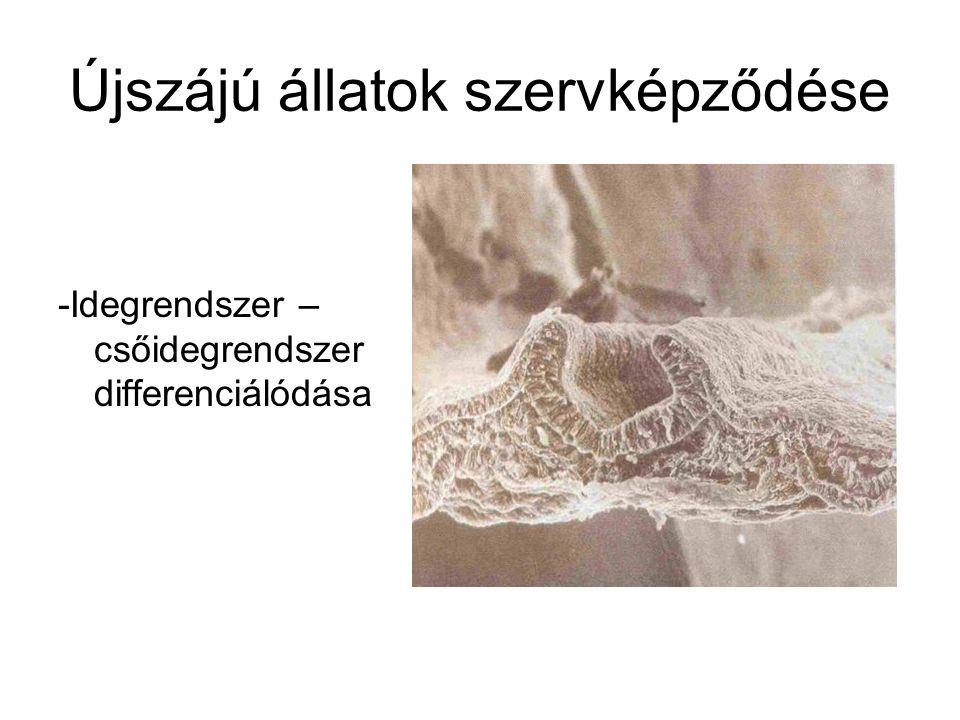 Újszájú állatok szervképződése -Idegrendszer – csőidegrendszer differenciálódása