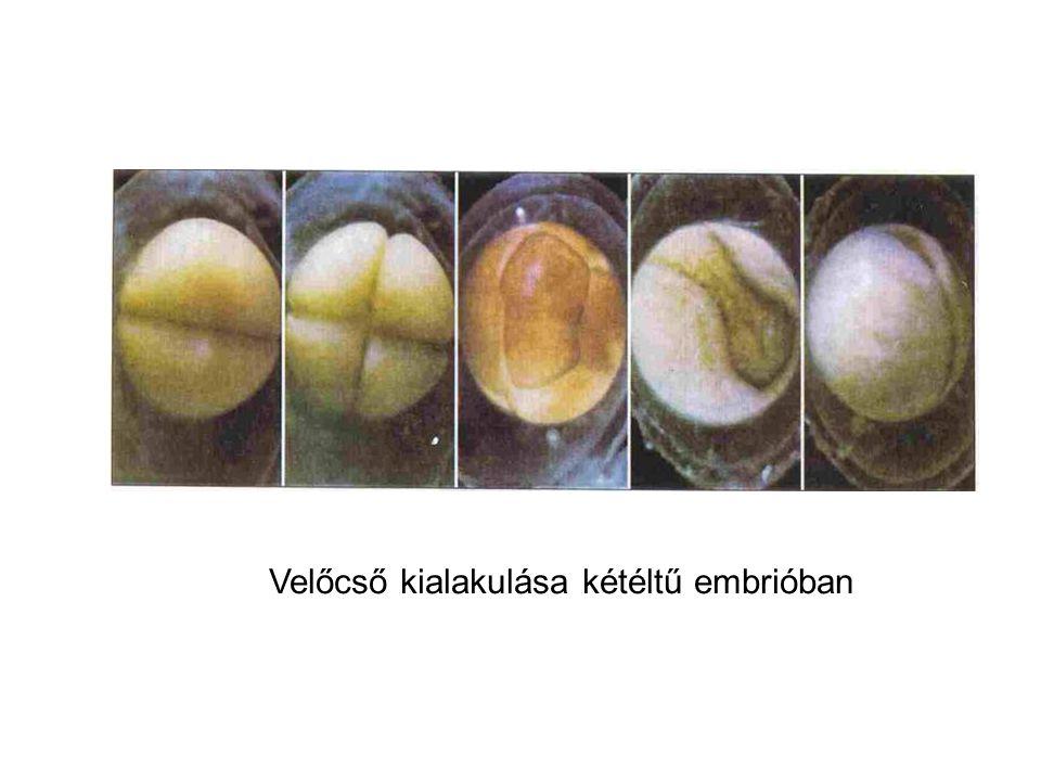 Velőcső kialakulása kétéltű embrióban